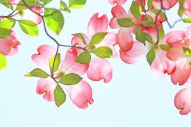 青空に映えるピンクのハナミズキ